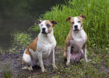 Mixed breed Boxer, Labrador Retriever, Pit Bull dogs. Stock Image