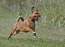 Mixed breed Boxer Rhodesian Ridgeback mixed breed dog. Mixed breed Boxer Rhodesian Ridgeback dog running while playing in a field Stock Images