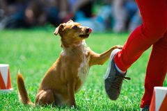 Mixed breed brown dog during obedience stock photo
