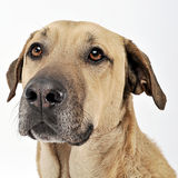 Mixed breed  brown dog portrait in  white backgound studio Royalty Free Stock Image