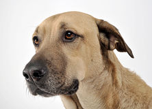 Mixed breed brown dog portrait in white studio Royalty Free Stock Images