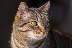 Mixed-breed cat. Felis catus, looks at the cam royalty free stock image