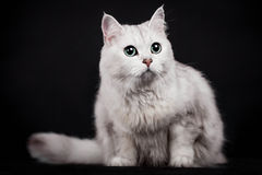 Mixed-breed cat on black Royalty Free Stock Images