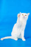 Mixed-breed cat on blue Royalty Free Stock Images