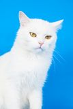 Mixed-breed cat on blue Royalty Free Stock Photography
