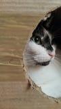 Mixed-breed cat Royalty Free Stock Photo