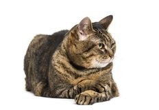 Mixed-breed cat crossed legs lying down and relaxing crossed leg. S, looking away, isolated on white Stock Photo