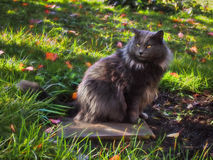 Mixed breed cat. Mixed breed domesticated cat in autumn Royalty Free Stock Image