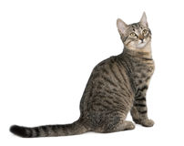 Mixed-breed cat, Felis catus, 6 months old Royalty Free Stock Photo