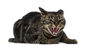 Mixed-breed cat hissing Stock Photography