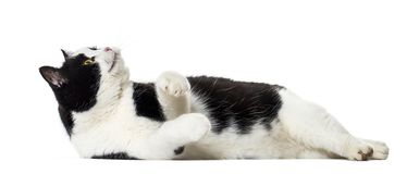 Mixed breed cat looking up against white background. Isolated on white Stock Images