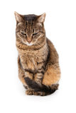 Mixed breed cat, 6 months old, sitting Stock Image