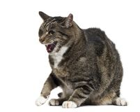 Mixed-breed cat with open mouth, isolated. On white stock images