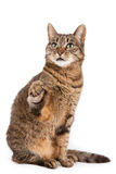 Mixed breed cat with paw in air Royalty Free Stock Image
