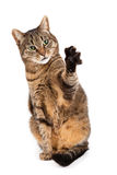 Mixed breed cat with paw in air Stock Image