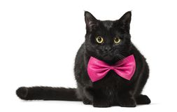 Mixed-breed cat in pink bow tie against white background. On white royalty free stock image