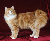 Mixed breed cat stands on velvet background Stock Images