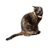 Mixed breed cat tortoiseshell color Stock Image