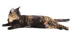 Mixed breed cat tortoiseshell color Royalty Free Stock Images