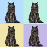 Mixed-breed cat whit a main coon  (1 year old), on colored backg. Round Stock Photos