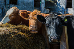 Mixed breed cattle. At a feed lot Stock Photos