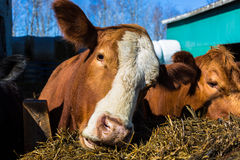 Mixed breed cattle. At a feed lot Royalty Free Stock Image