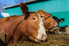 Mixed breed cattle. At a feed lot Royalty Free Stock Images