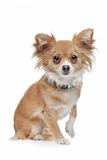 Mixed breed Chihuahua Royalty Free Stock Images