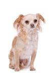 Mixed breed Chihuahua dog Stock Photo