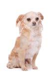 Mixed breed Chihuahua dog Royalty Free Stock Image