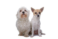 Mixed breed chihuahua and a Maltese dog. Isolated on a white background Stock Photos