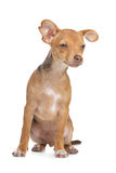 Mixed breed chihuahua and miniature Pincher dog Royalty Free Stock Photos