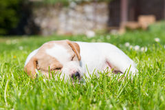 Mixed-breed cute little puppy on grass. Stock Image
