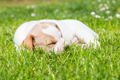 Mixed-breed cute little puppy on grass. Royalty Free Stock Images
