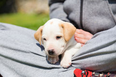 Mixed-breed cute little puppy in lap. Royalty Free Stock Photo