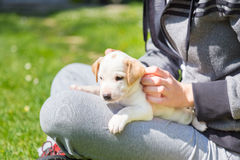 Mixed-breed cute little puppy in lap. Royalty Free Stock Images