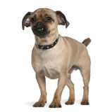 Mixed-breed dog, 1 year old, standing Royalty Free Stock Image