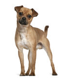 Mixed-breed dog, 1 year old, standing. In front of white background Stock Images