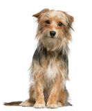 Mixed-breed dog, 12 months old, sitting Royalty Free Stock Image
