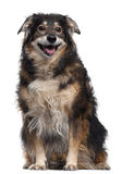 Mixed-breed dog, 12 years old Royalty Free Stock Photography