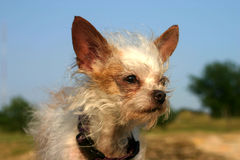 Mixed Breed Dog. Mixed breed terrier dog, huge ears, against blue sky. on bank of river Royalty Free Stock Images