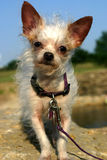 Mixed Breed Dog. Elderly mixed breed dog, terrier and longhaired chihuahua mix, standing on rock beside river on spring day in sunshine wearing purple collar and Stock Photography