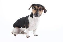 Mixed Breed Dog. Dachshund and Beagle mix breed dog Stock Image
