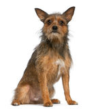 Mixed-breed dog, 15 months old, sitting Stock Images