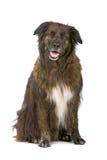 Mixed breed dog. Belgium shepherd dog and border collie dog Stock Photos