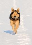 Mixed breed dog. Tan and Black Mixed breed dog running on snow Stock Images