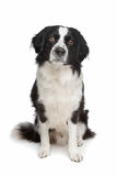 Mixed breed dog. Border collie and Frisian pointer dog Stock Image