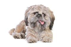 Mixed breed dog. Mixed breed of a shih tzu and pekingese dog Stock Image