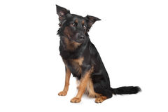 Mixed breed dog Royalty Free Stock Photography