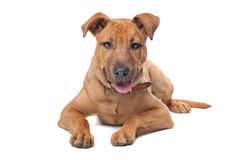 Mixed breed dog. ( Stafford Terrier) in front of a white background Stock Photography